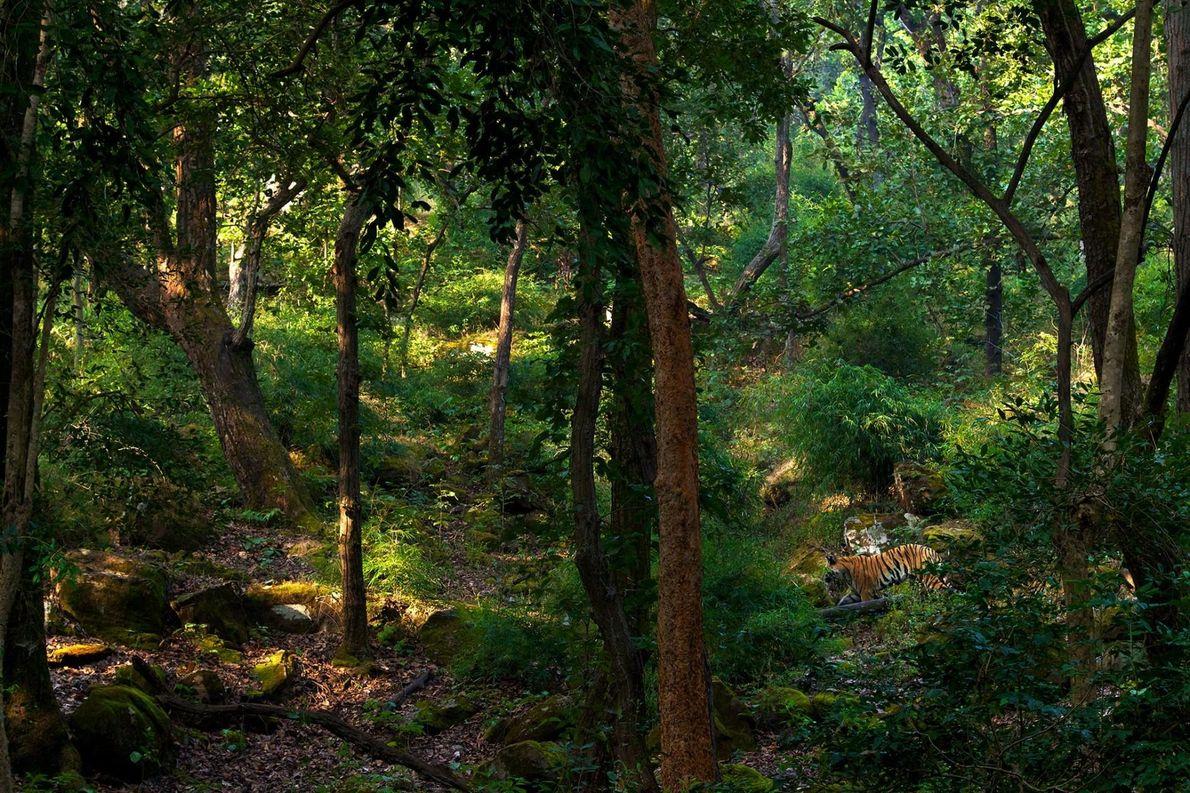 Tiger im Dschungel im Bandhavgarh-Tigerschutzgebiet