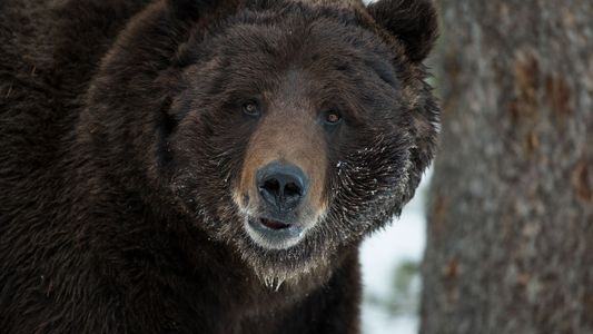 Geplante Aufhebung von Schutzmaßnahmen für Grizzlys löst Kontroverse aus