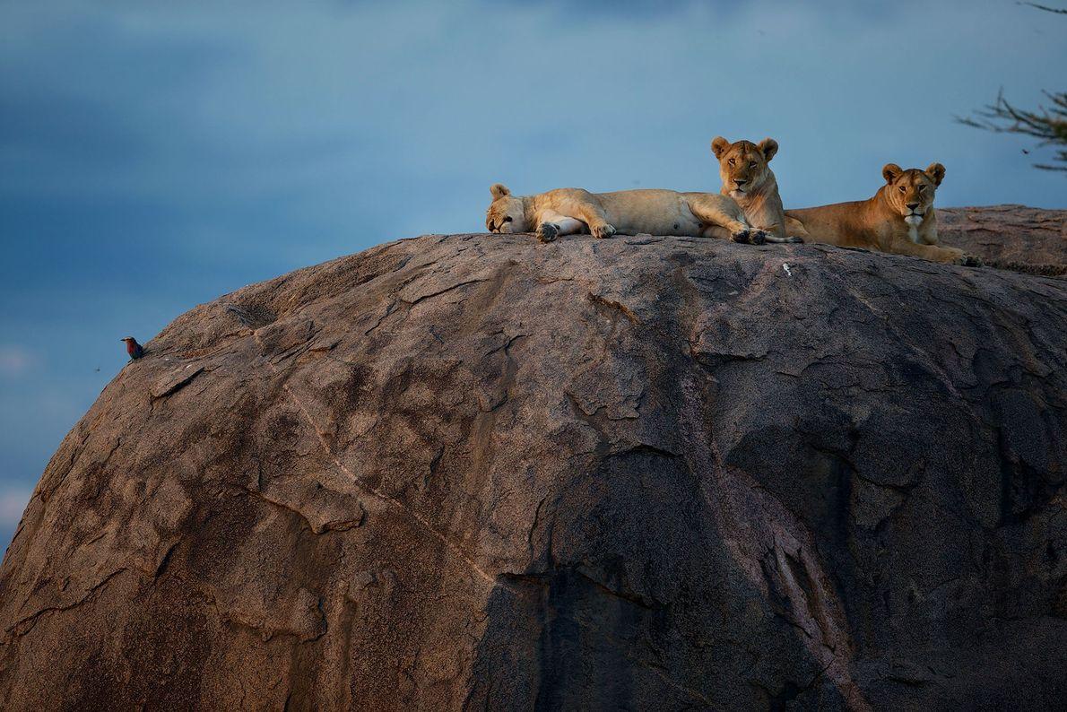 Löwinnen entspannen in der Sonne