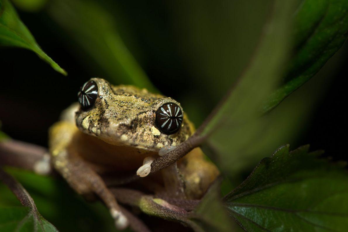 Frosch auf Grashalm