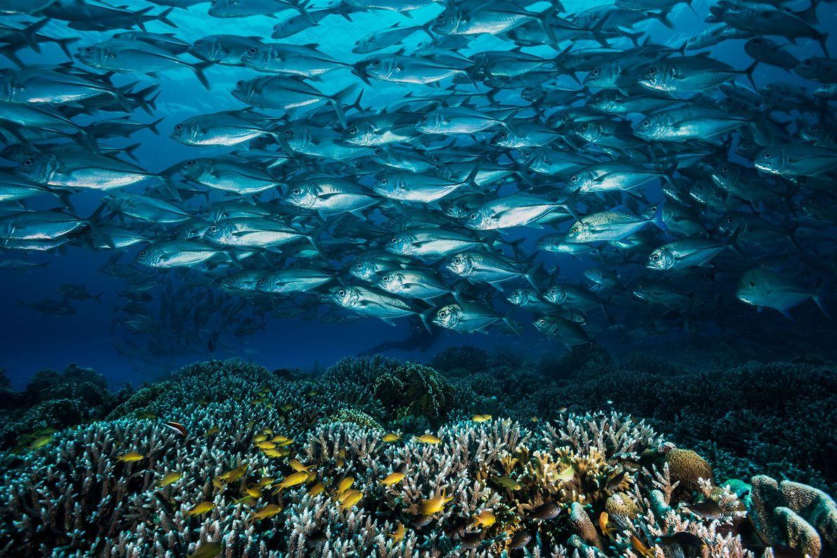Über den Korallen von Tubbataha ziehen Makrelenschwärme hinweg. Meeresströmungen bringen zahlreiche Larven von Meerestieren in die ...