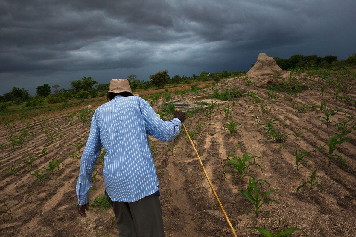 Ein älterer Mann läuft über ein Maisfeld zu den Gräbern von vier seiner zehn toten Kinder. ...