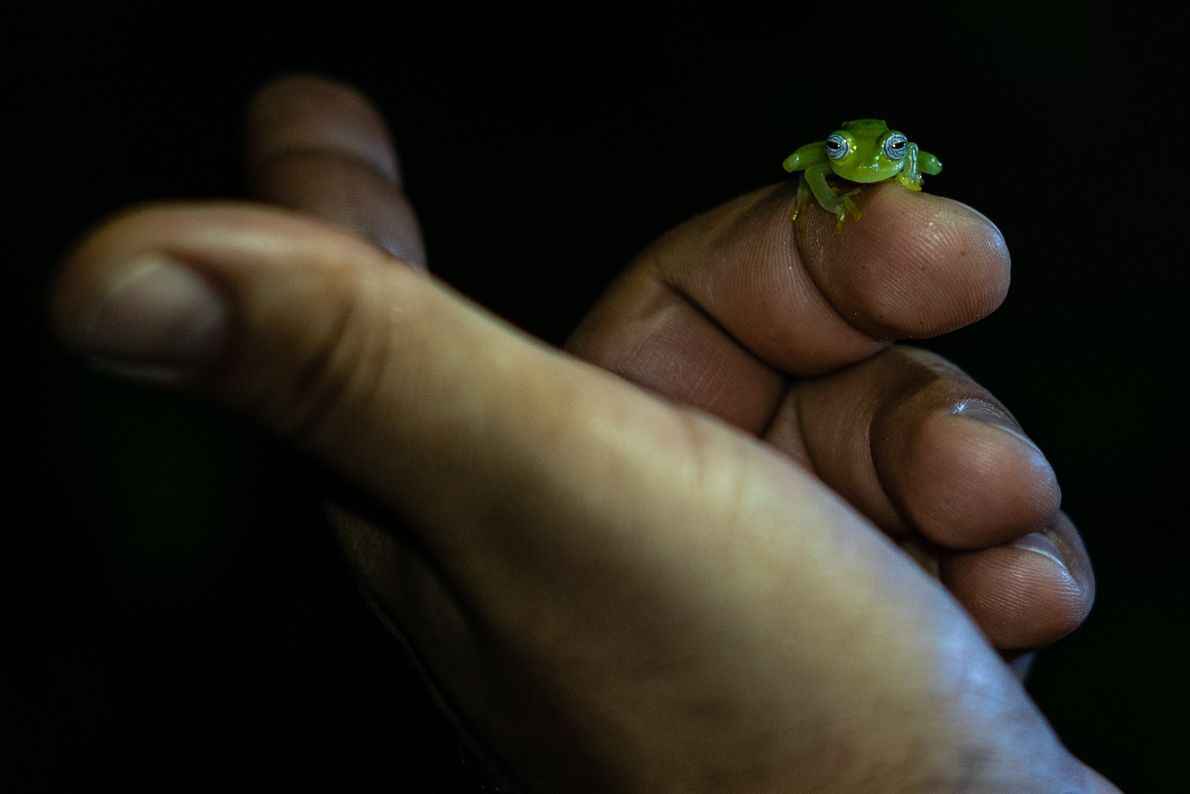 Der Herpetologe Juan Camilo Arredondo begutachtet einen winzigen Frosch. Er vermutet, dass das Tier zur Familie ...