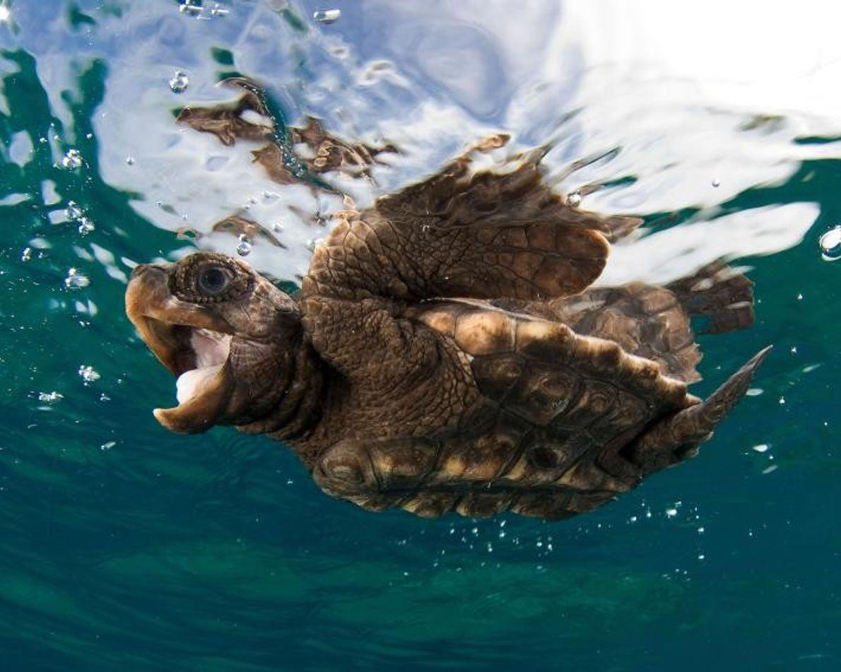 Eine kleine Unechte Karettschildkröte schwimmt an der Meeresoberfläche.