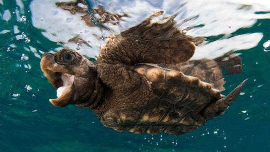 A baby loggerhead sea turtle swims near the surface.