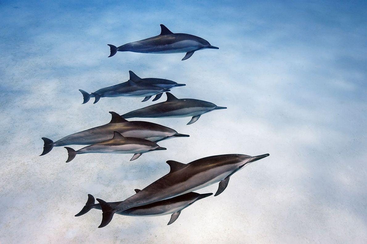 Der Wissenschaftler Stan Kuczaj von der University of Mississippi untersucht in Honduras, wie 30 Delfine in ...