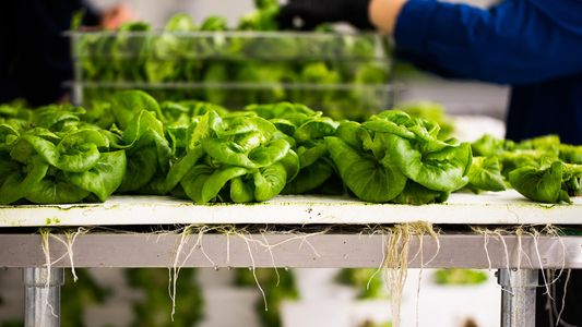 Wenn LEDs und Software-Netzwerke Indoor-Gemüse züchten