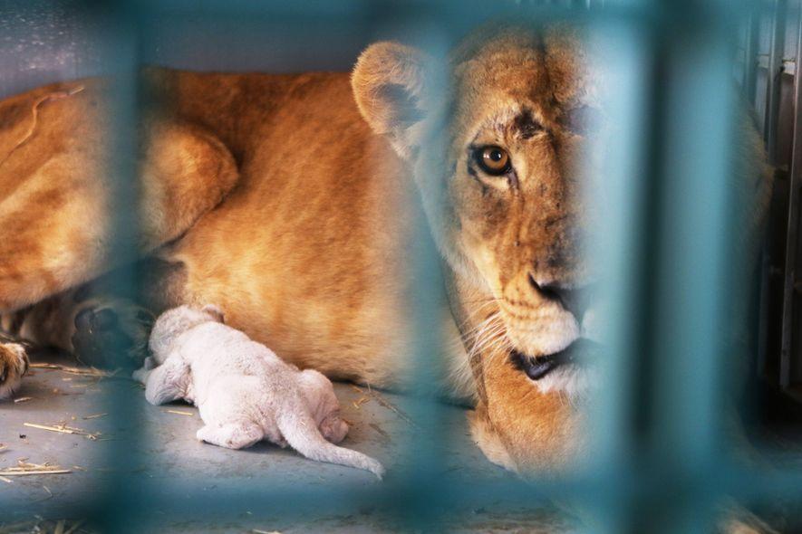 Die Löwin Dana wurde gerade rechtzeitig evakuiert. In der Nacht, als sie im jordanischen Schutzzentrum Al ...