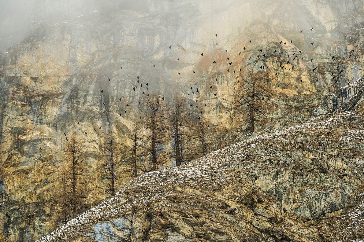 Ein großer Schwarm Alpendohlen gleitet auf den Aufwinden des Valle d'Aosta in Italien.