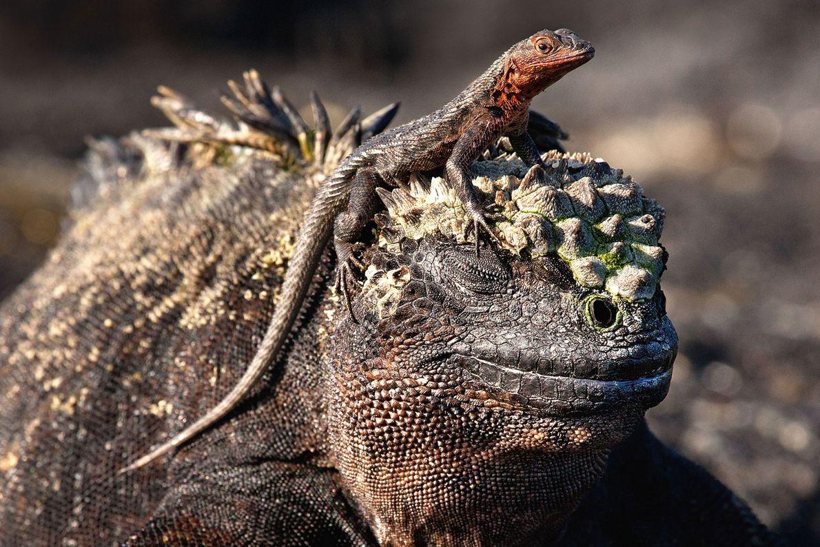 Meerechse mit Reptil