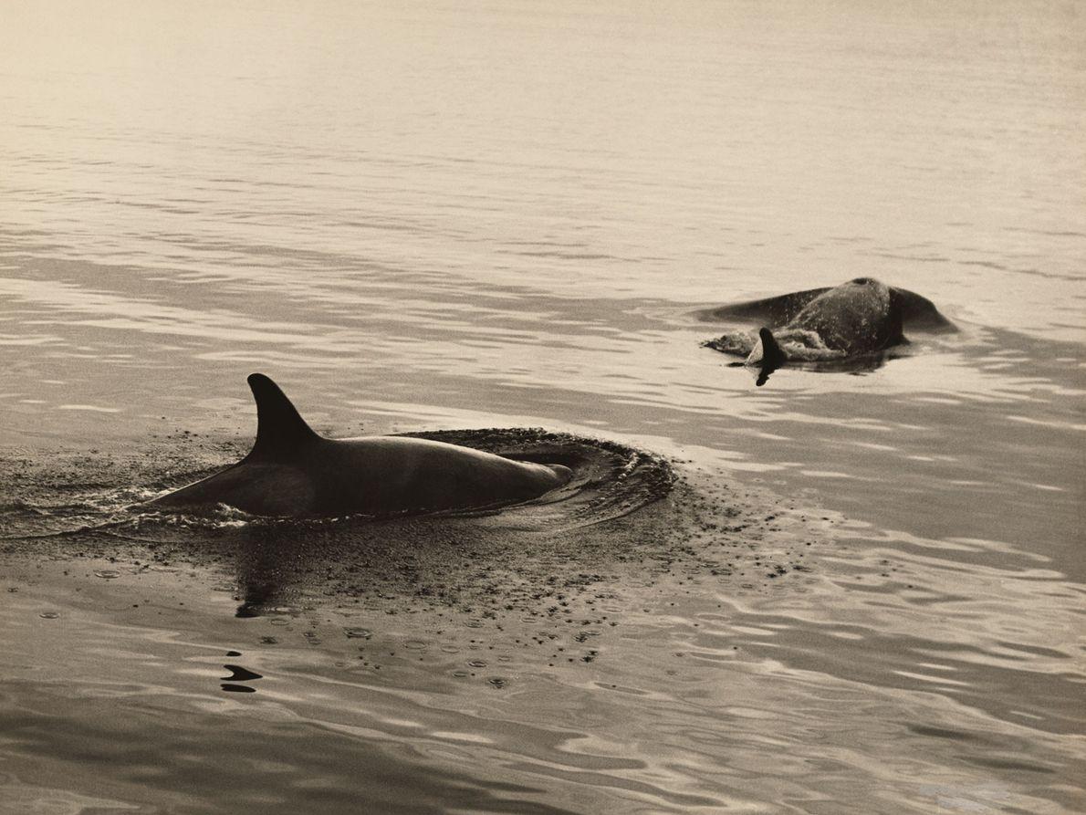 Orcas in der Antarktis