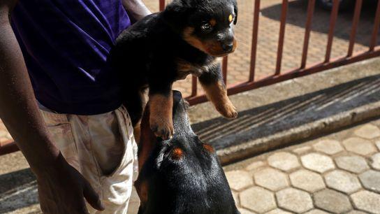 David Kamanda hält einen seiner Rottweilerwelpen. Seine Hündin Canine hat zum ersten Mal geworfen. Kamanda besitzt ...