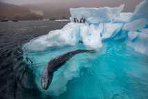 Vor der Küste der Antarktis ist ein Seeleopard auf der Jagd. Er zieht seine Kreise unter ...