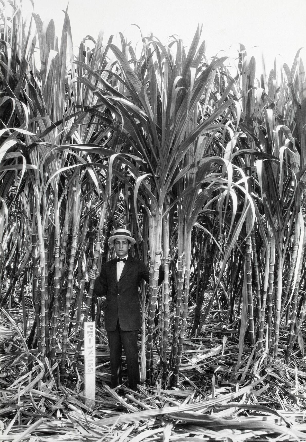 Auf den Feldern in Rio Piedras wurde Zuckerrohr angebaut, eine äußerst lukrative Pflanze. Ein Mann posiert ...