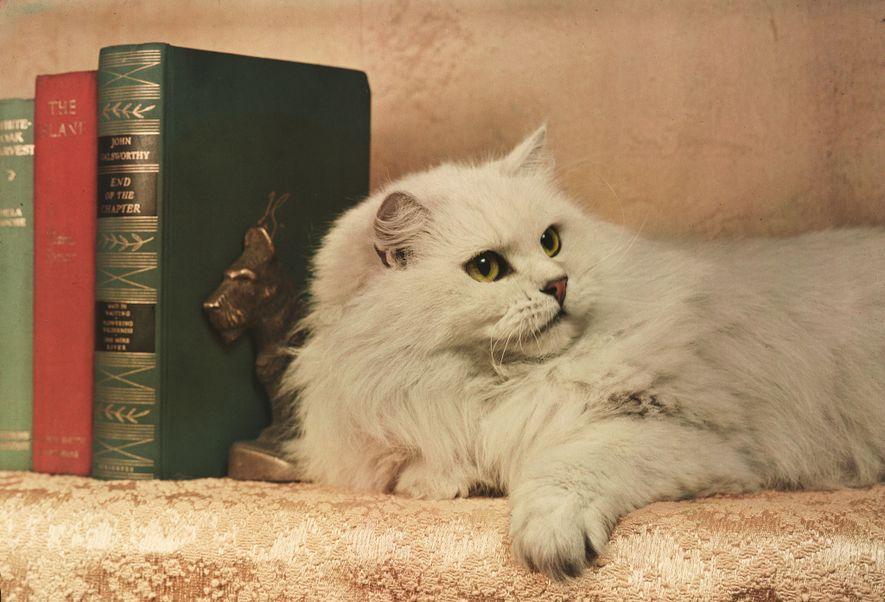 Vintage-Fotos von verwöhnten Katzen