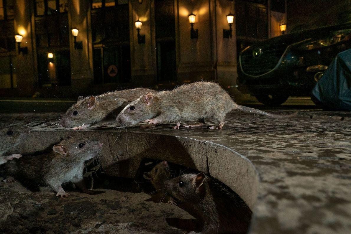 Ratten von New York City