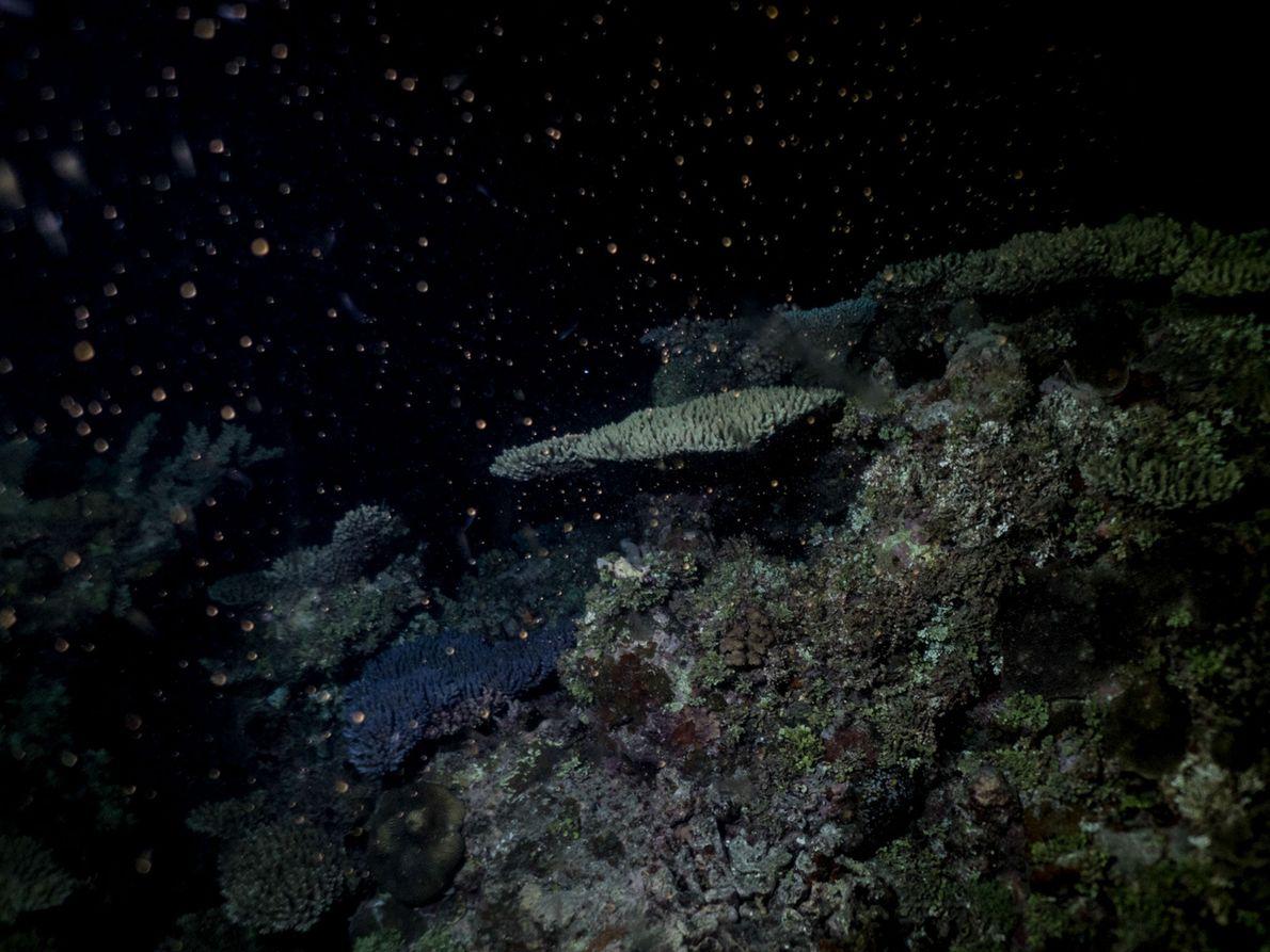 """Im australischen Great Barrier Reef laichen die Korallen. """"Das Meer ist wirklich jedes Mal anders, wenn ..."""