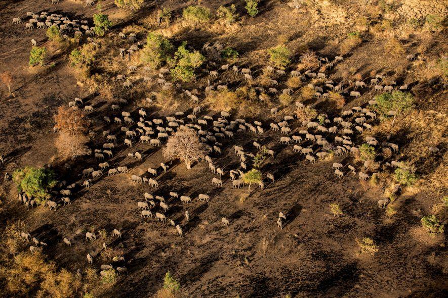 Eine Herde mit mehreren hundert Elefanten bewegt sich auf ein Wasserloch im Nationalpark Zakouma in Tschad ...