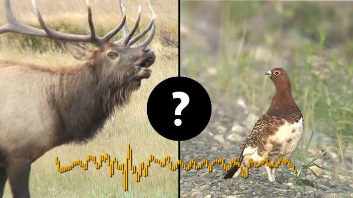 Welche Tiere machen dieses Geräusch?