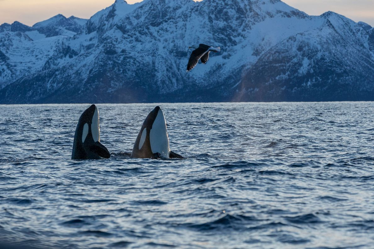 Orcas im norwegischen Andfjord.