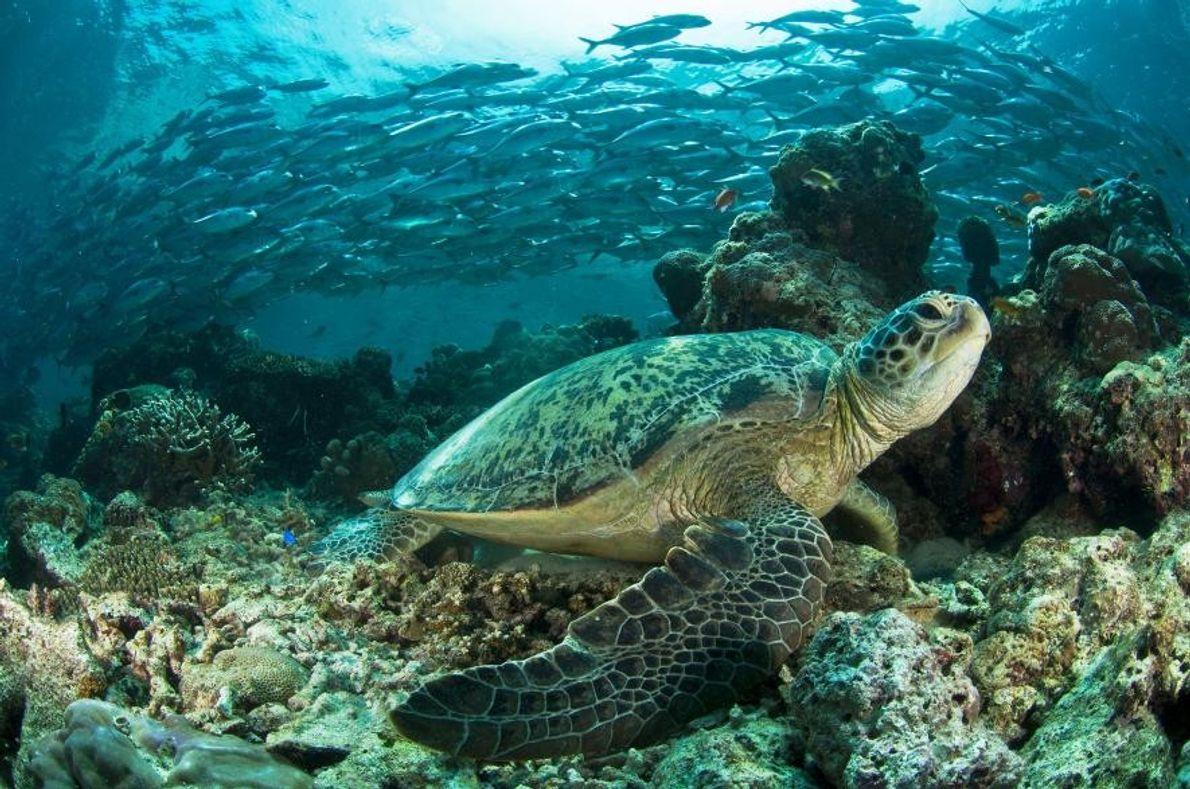 Über 99 % Weibchen – Riesige Kolonie von Meeresschildkröten vor dem Aus?