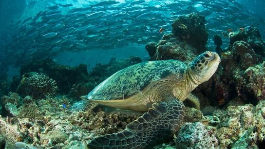 An der malaysischen Insel Sipadan wartet eine Suppenschildkröte während der Ebbe auf einem Korallenvorsprung.