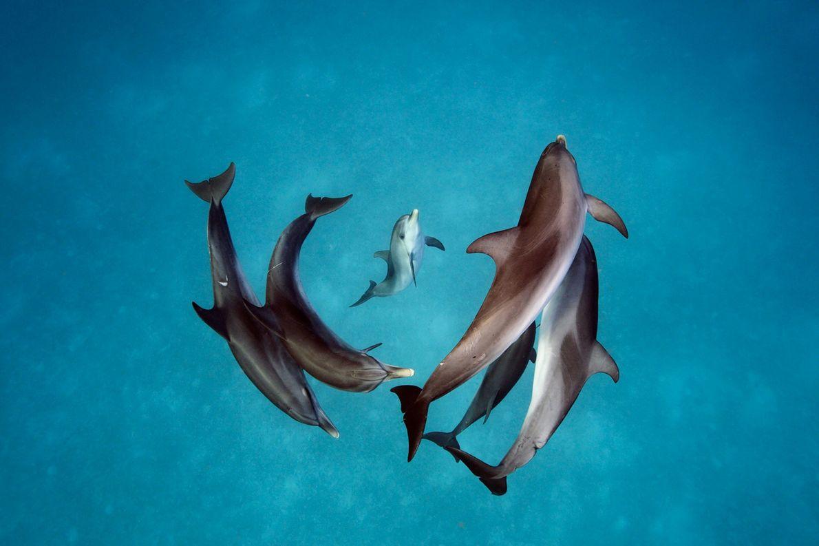 Zügeldelfine (Stenella frontalis) rund um die Bahamas