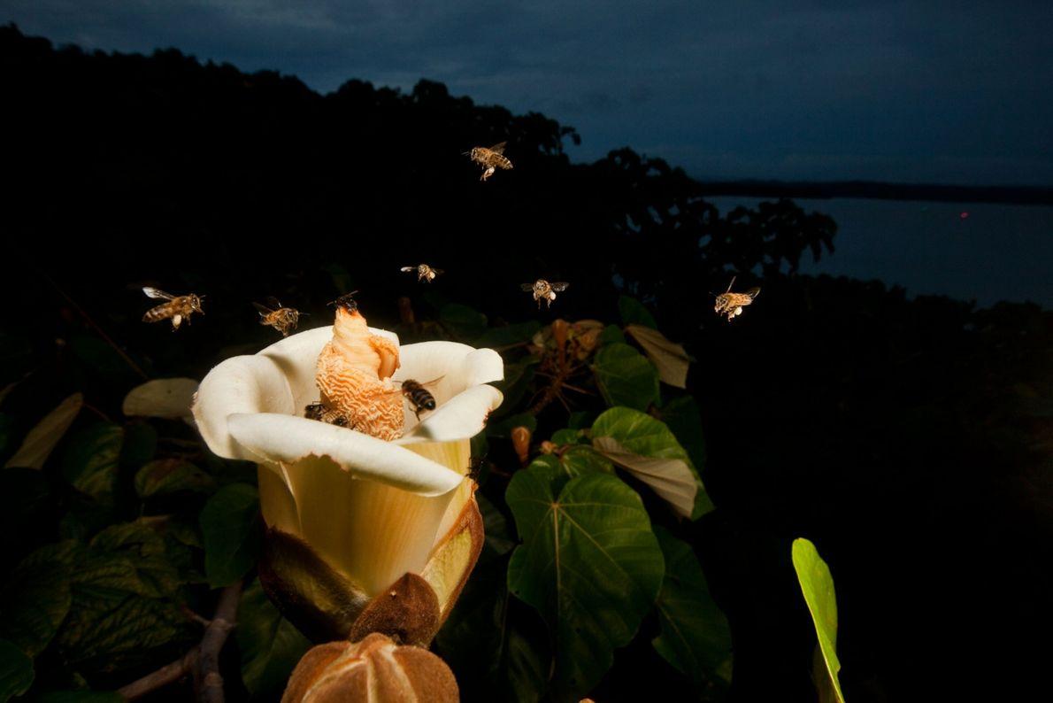 Afrikanisierte Honigbienen umschwärmen nach Sonnenuntergang die Blüte eines Balsabaumes in Panama.