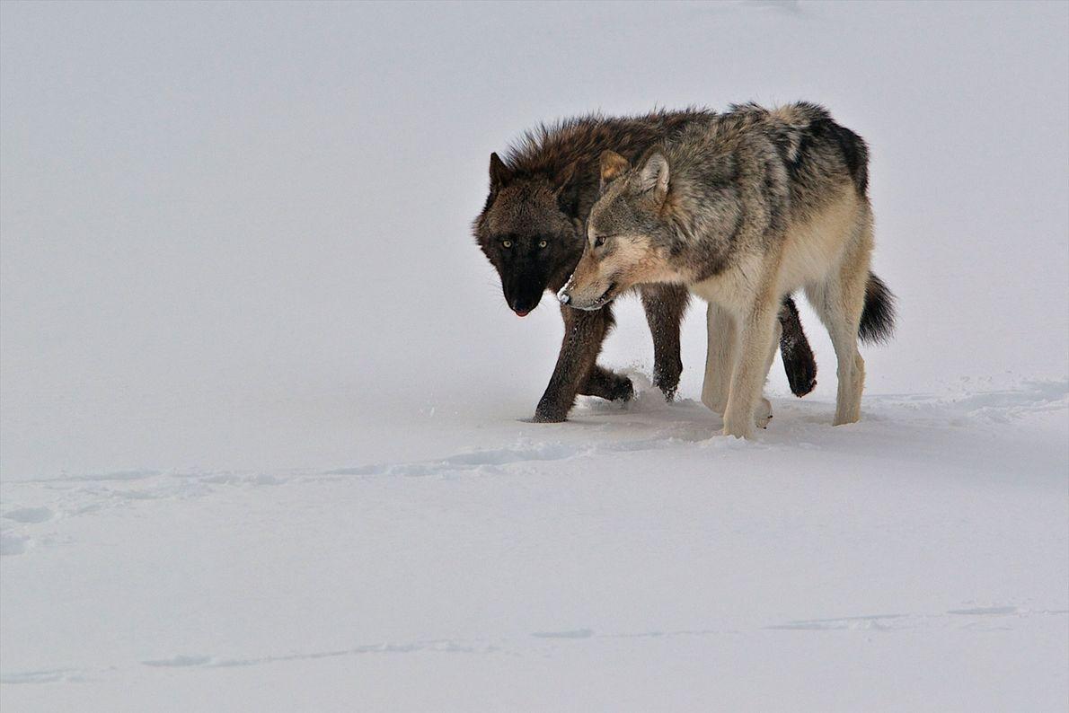 Wolf schwarz und weiß