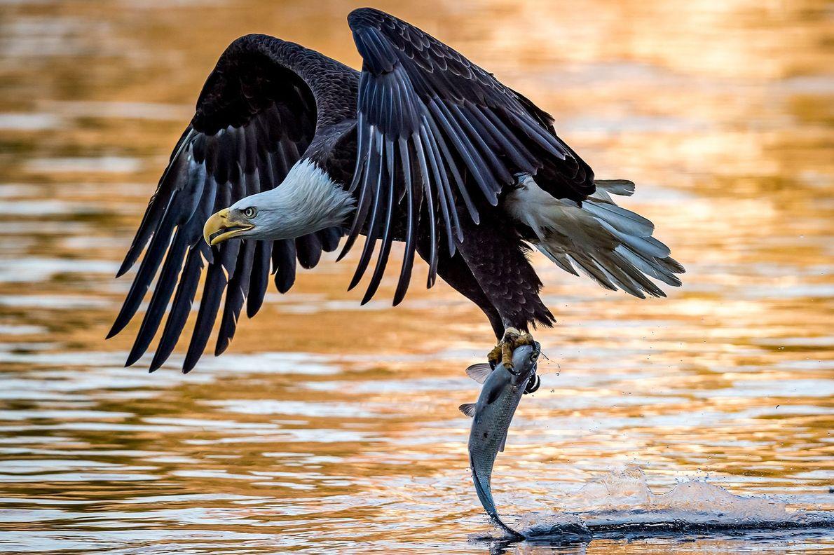 Ein Weißkopfseeadler hat einen Fisch aus dem Susquehanna gefangen. Der Tag neigte sich bereits dem Ende ...