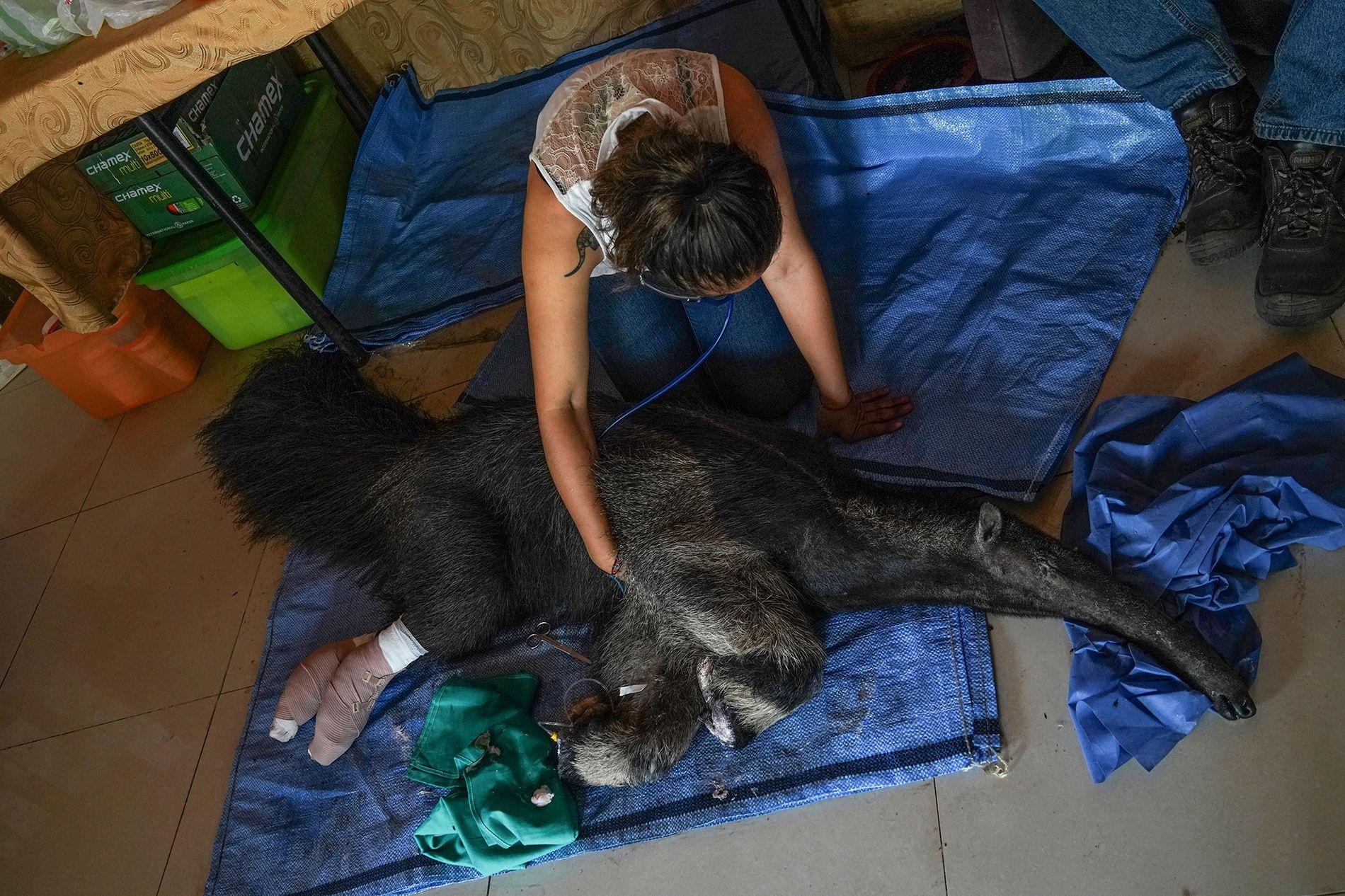 Die Biologin Daniela Vidal überwacht die Vitalzeichen des Ameisenbären Valentina. Kurz nachdem das Tier mit Verbrennungen ...
