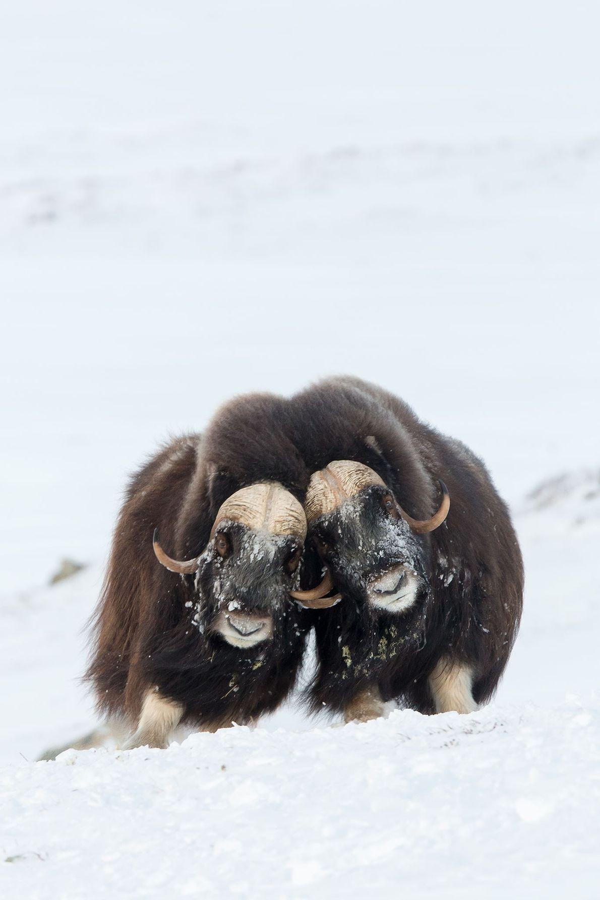 Zwei kämpfende Moschusochsen