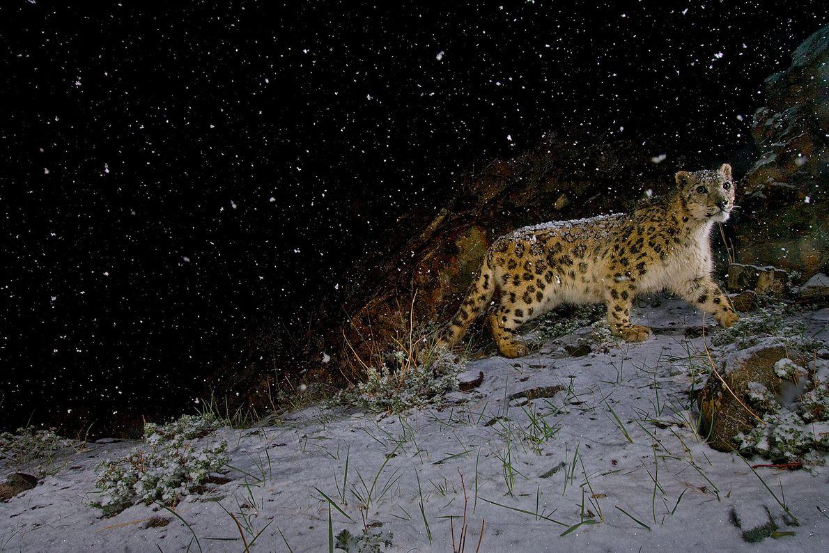 Eine ferngesteuerte Kamera nimmt einen Schneeleopard auf, der im Hemis-Nationalpark in Indien durch den Schnee läuft.