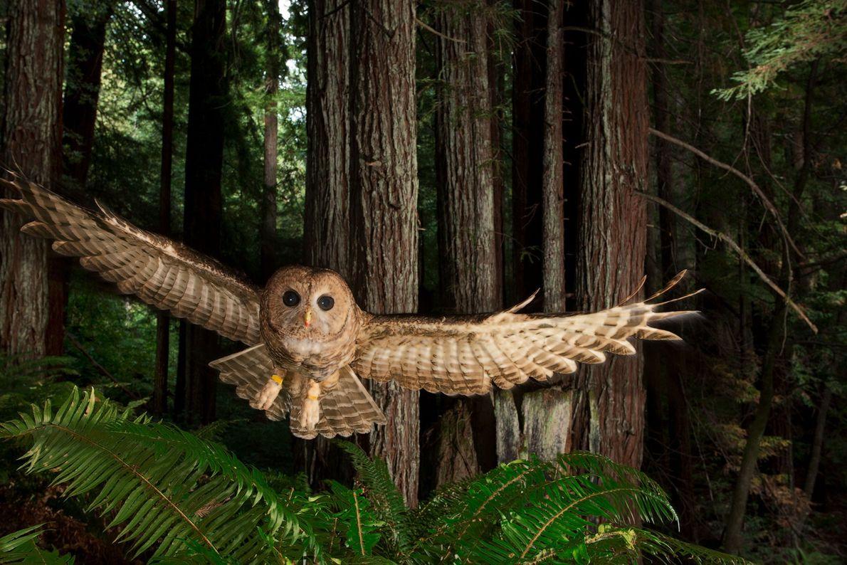 Nördlicher Fleckenkauz. Redwood Forest, Kalifornien, USA