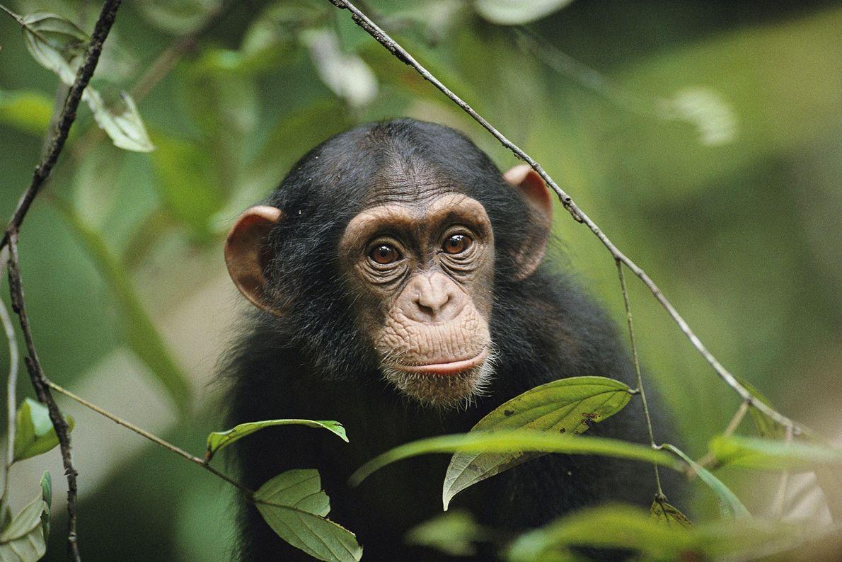 Ein junger Schimpanse blickt durch die Blätter eines Baumes im Taï-Nationalpark an der Elfenbeinküste.