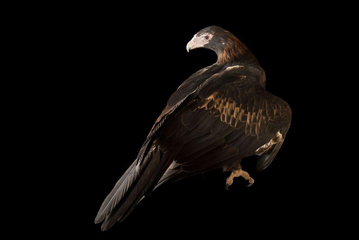 Ein Keilschwanzadler (Aquila audax audax) vom Healesville Sanctuary. Die großen Greifvögel können stundenlang ohne einen einzigen ...
