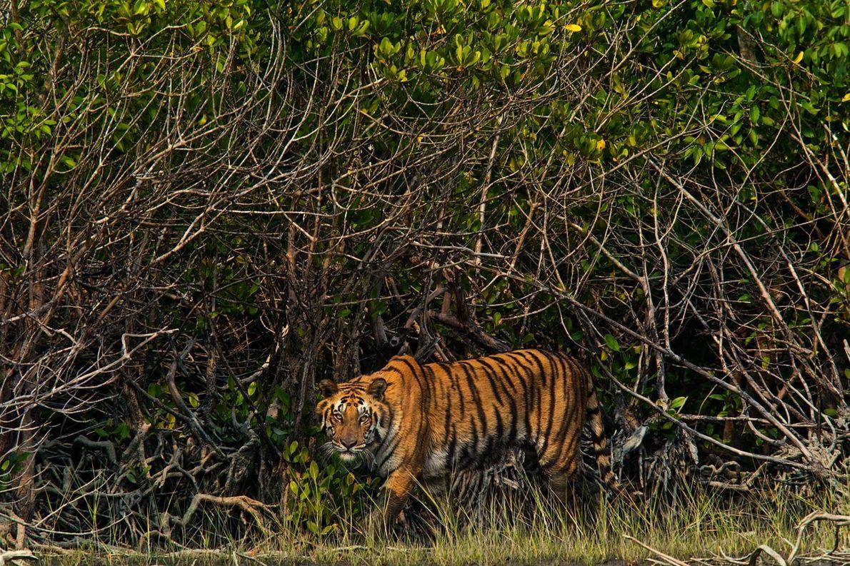 Tiger streift durch Wald