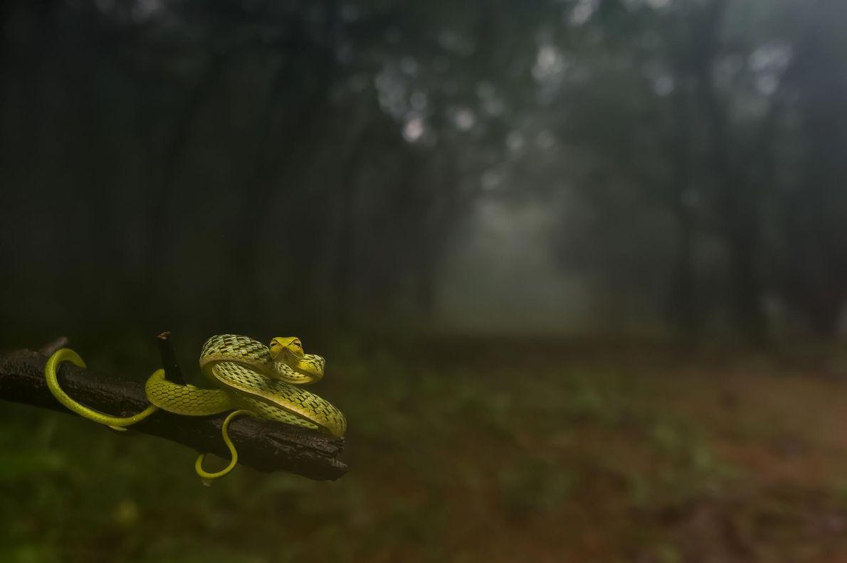 Spitznatter Oxybelis fulgidus. Amboli, Maharashtra, Indien