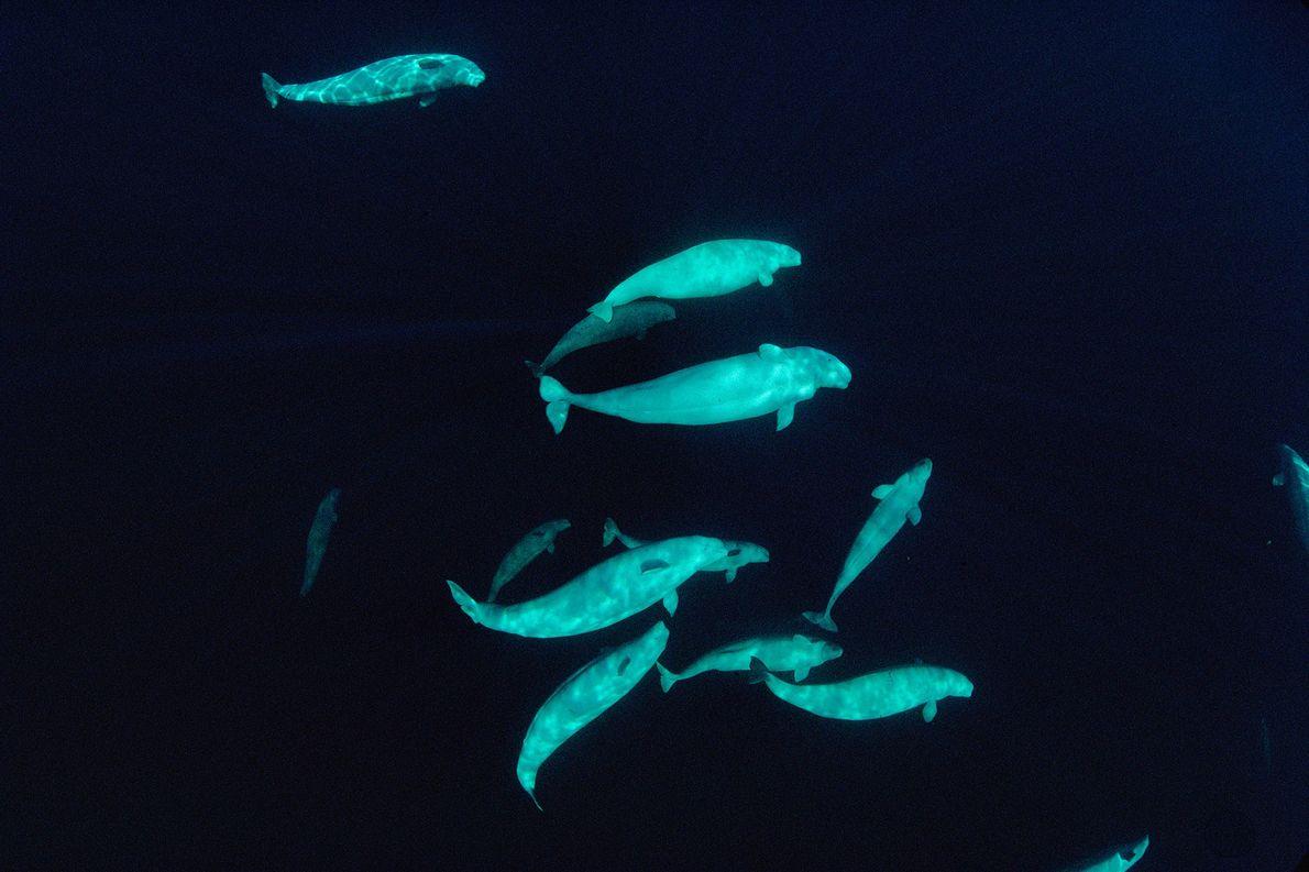 Eine Gruppe von Belugas schwimmt in etwa 60 Metern Tiefe in den arktischen Gewässern vor Nunavut ...
