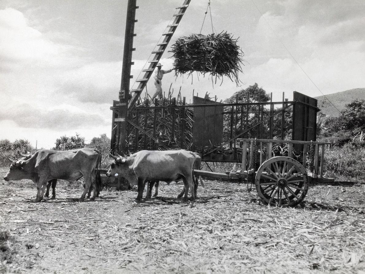 Arbeiter bereiten Zuckerrohr für den Transport vor. Hier hilft ein Mann dabei, einen Scheffel von einem ...