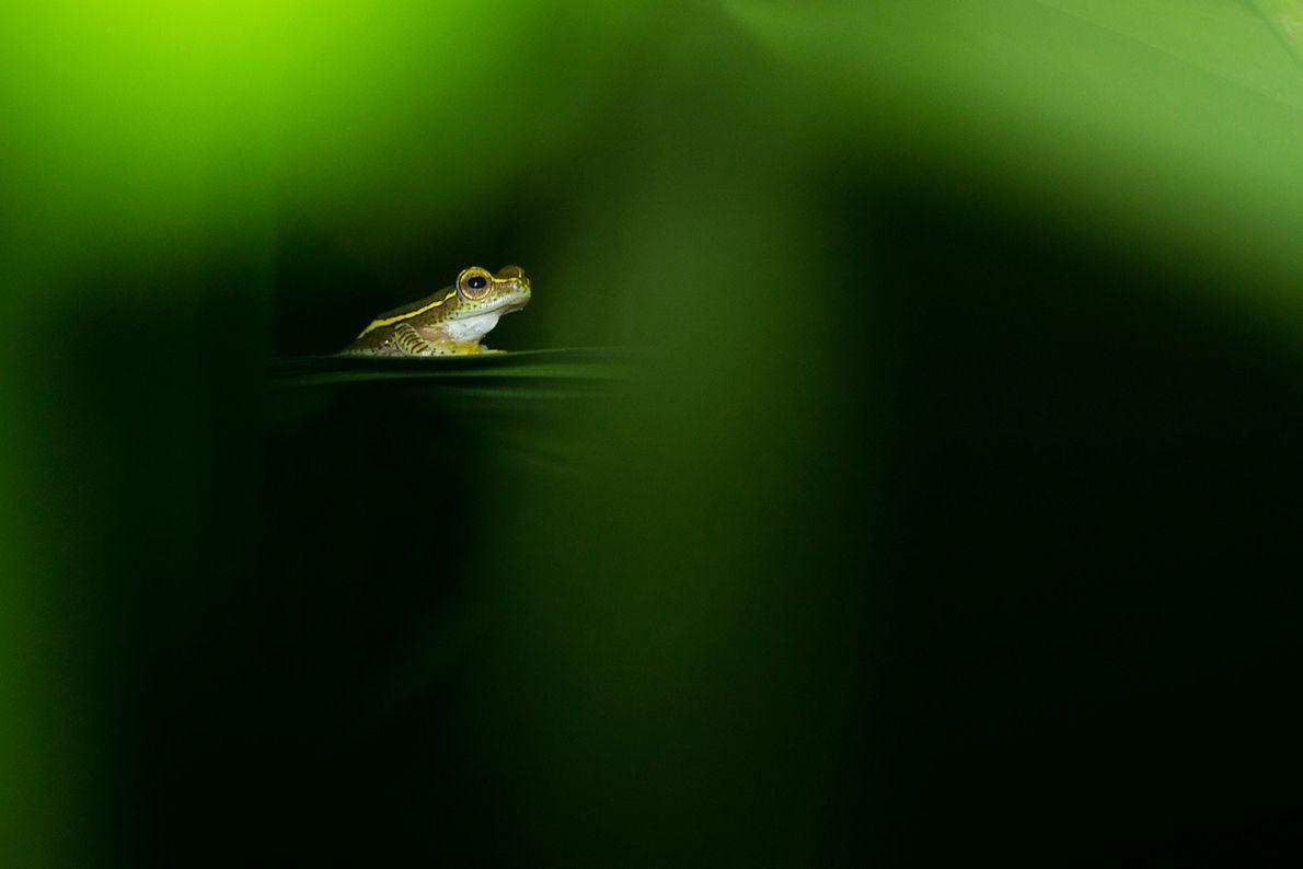 Kleiner Baumfrosch