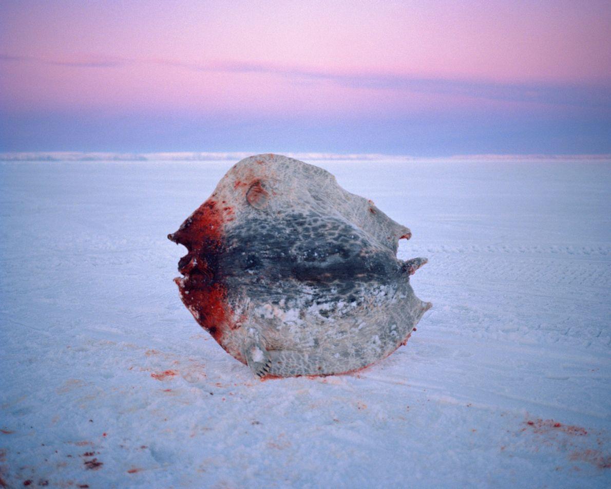 Eine gefrorene Robbenhaut
