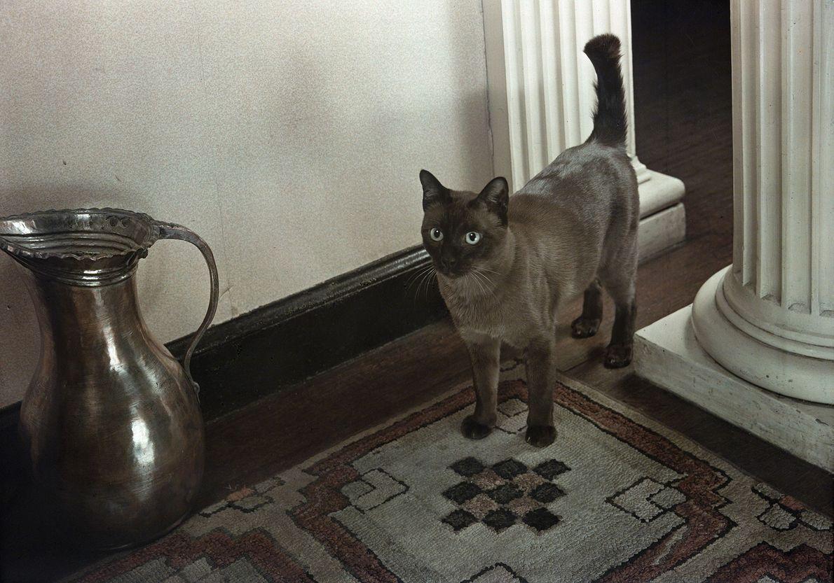 Eine Burma-Katze
