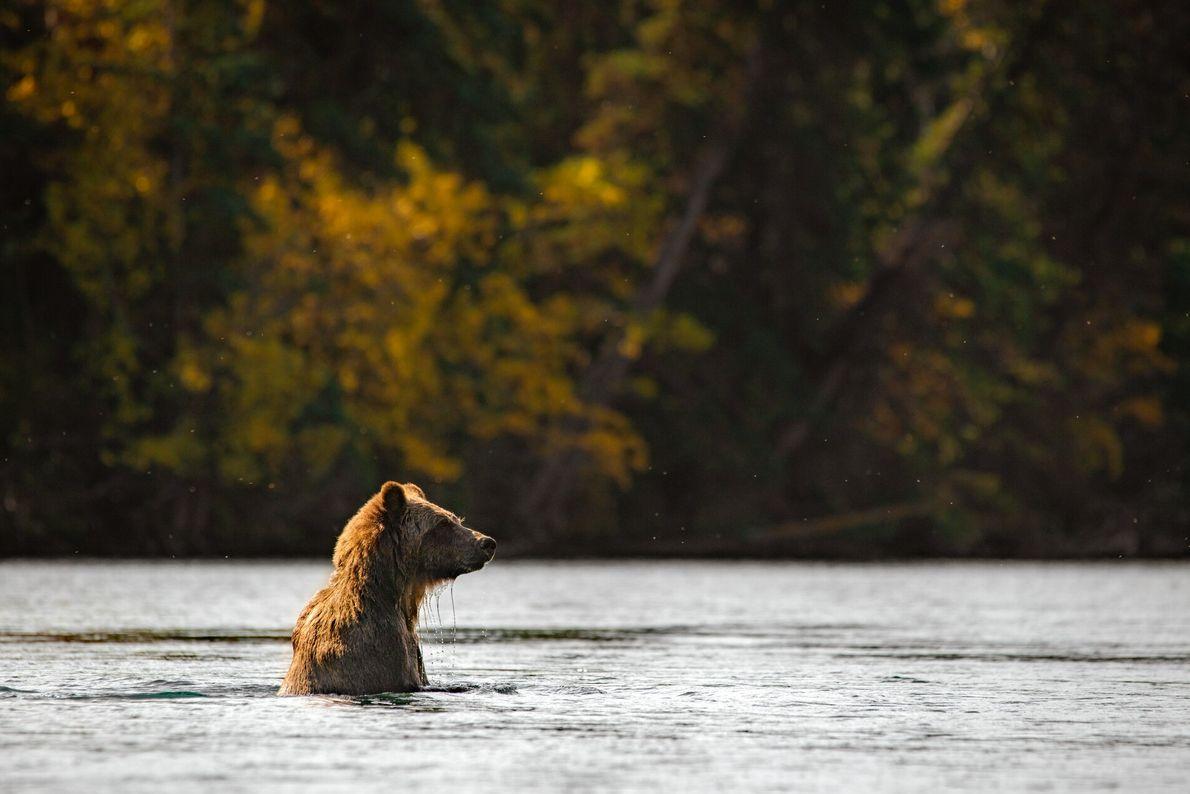 9. IM REGENWALD  Dieser unberührte natürliche Lebensraum ist ein Paradies für Wildtiere: Schwarz- und Grizzlybären waten bei ...