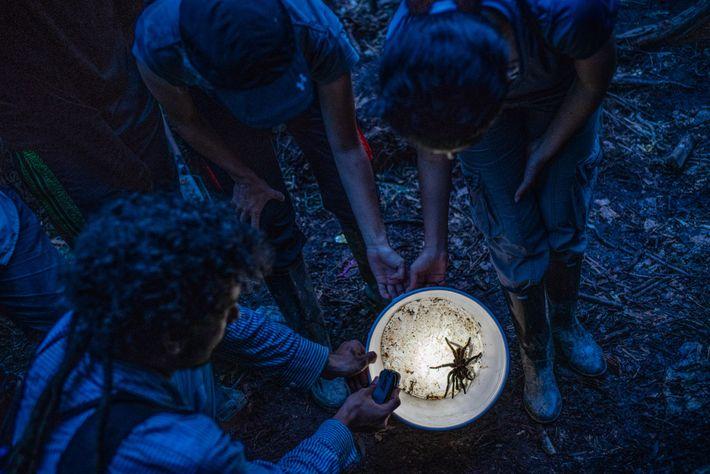 Biologen begutachten eine kolumbianische Vogelspinne der Art Xenesthis immanis, die sie im Wald gefunden haben.