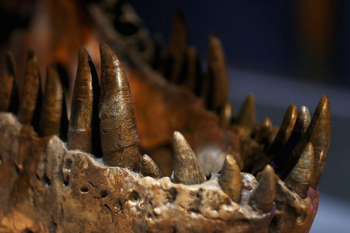 Diese Nahaufnahme zeigt die Zähne eines weiblichen Tyrannosaurus rex namens Trix, der im Naturalis Naturkundemuseum im ...