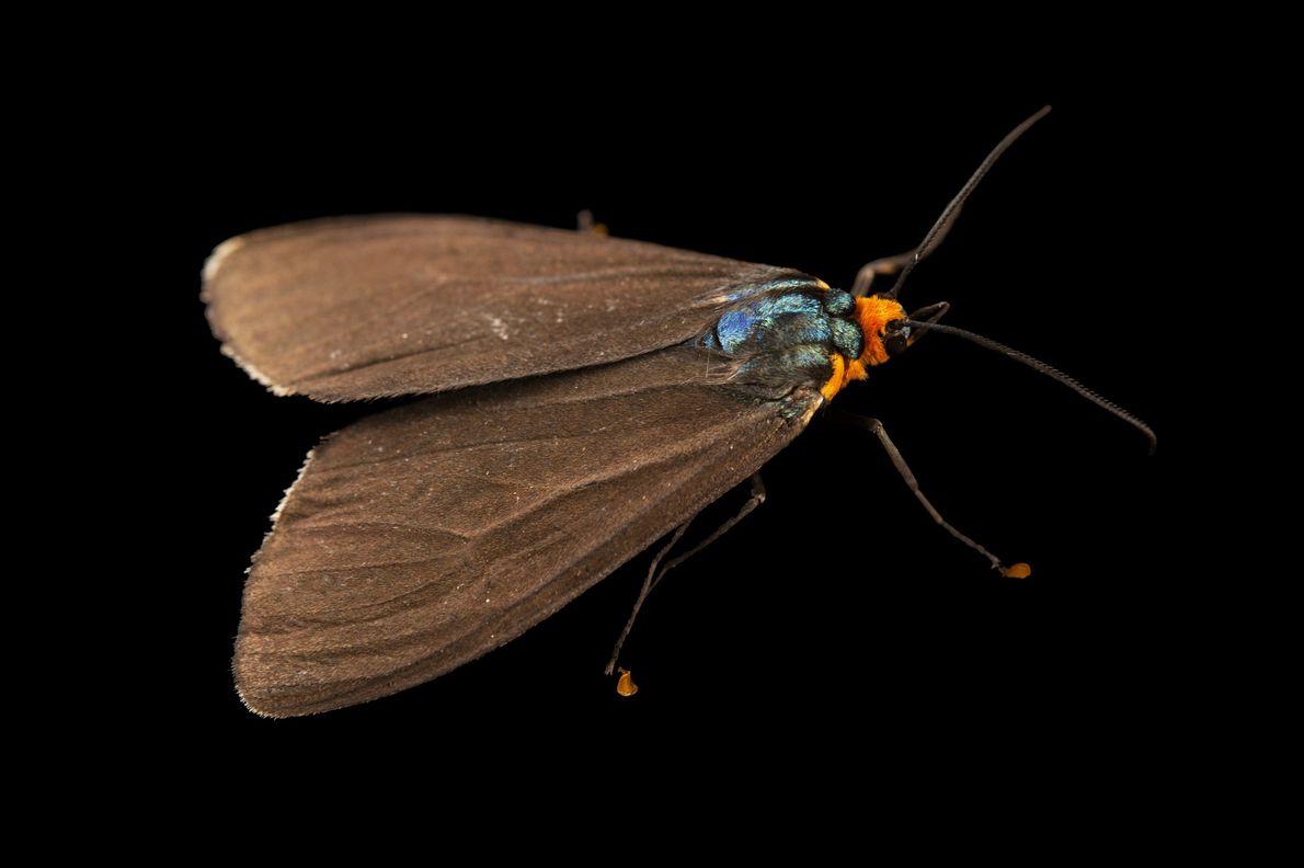 Ein Falter der Art Ctenucha virginica aus Cross Lake in Minnesota. Obwohl die meisten Nachtfalter ihrem ...
