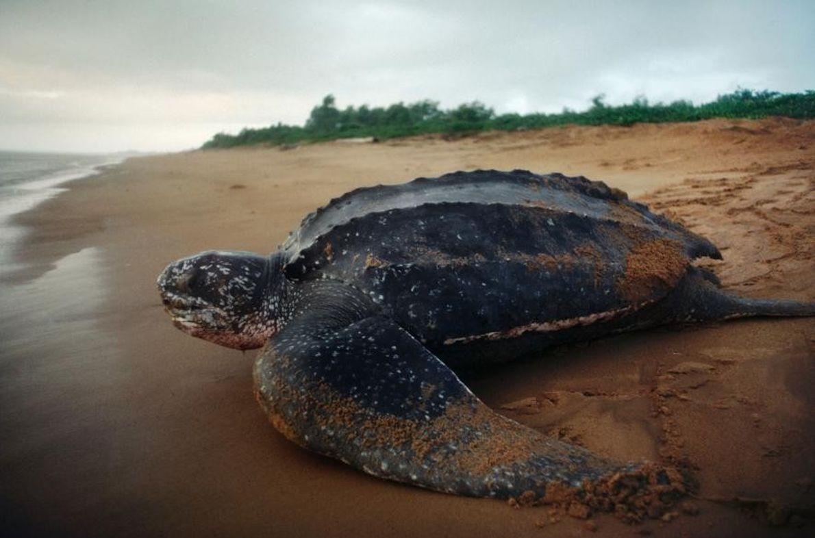 Nach der Eiablage kehrt eine Lederschildkröte (Dermochelys coriacea) ins Meer zurück.