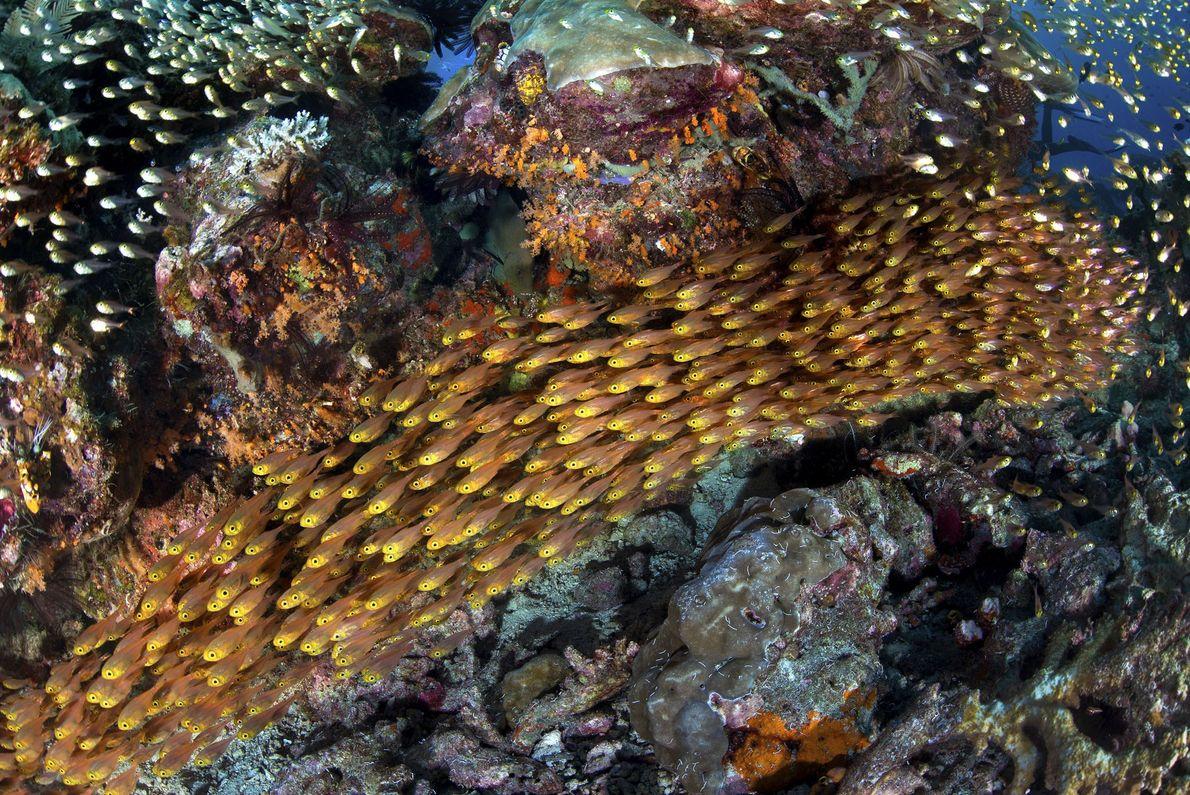 Eine Schule Glasfische der Art Parapriacanthus ransonneti schwimmt durch ein Korallenriff in Raja Ampat, Indonesien.