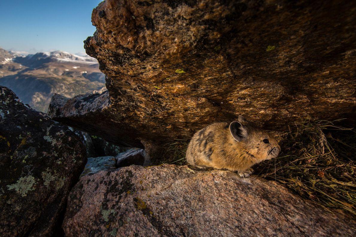 Ein Pika oder Pfeifhase löst eine Kamerafalle im Yellowstone-Nationalpark aus. Die scheuen Tiere bekommt man nur ...